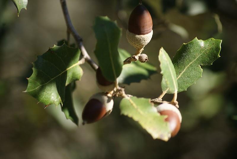 De qu rboles se obtiene la bellota blog nevadensis for Arboles de hoja perenne en madrid