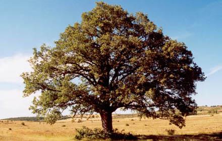 De qu rboles se obtiene la bellota blog nevadensis for Arboles de hoja perenne para clima frio